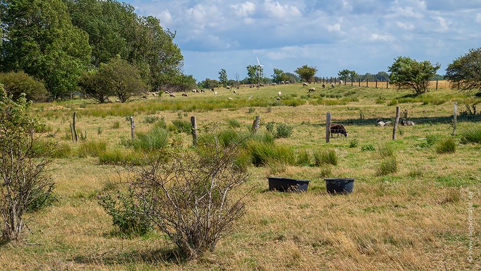 Schafe sind die natürlichen Rasenmäher der Kreptitzer Heide