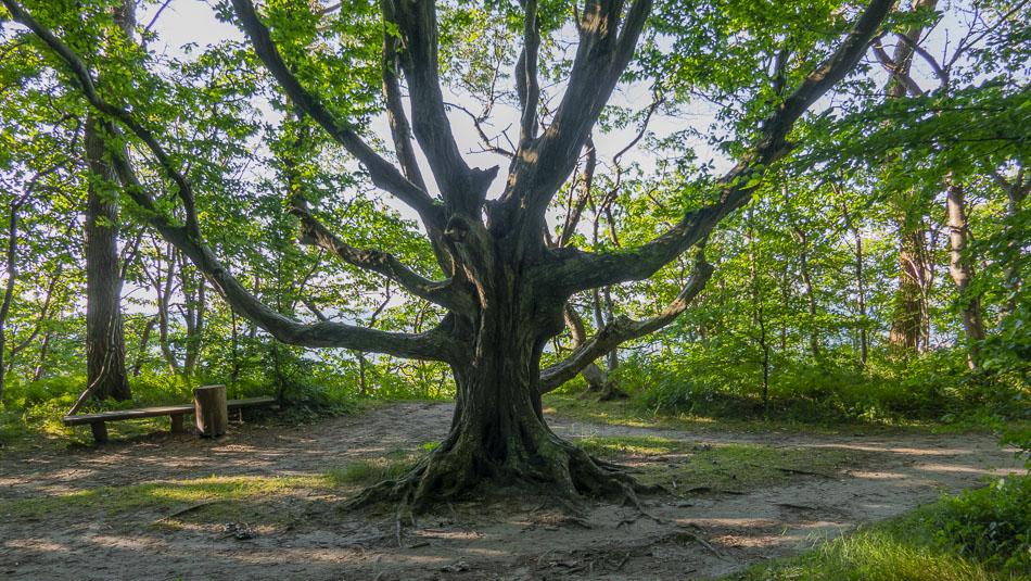 Ein Hexenbaum