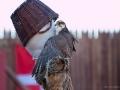 Der Falke bei den Störtebeker-Festspielen 2014