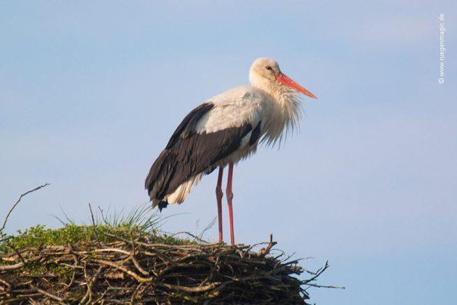 Der Storch ist endlich in Zirkow auf der Insel Rügen eingetroffen